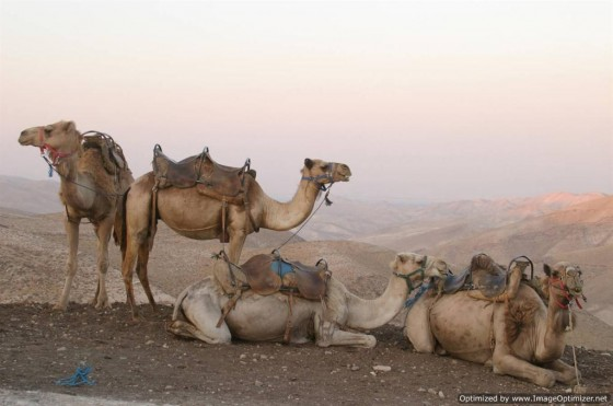 Camel carbon dating