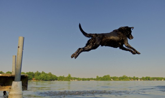 dog-jumping-off-dock-labrador-water-fetch-ball-chase-dives