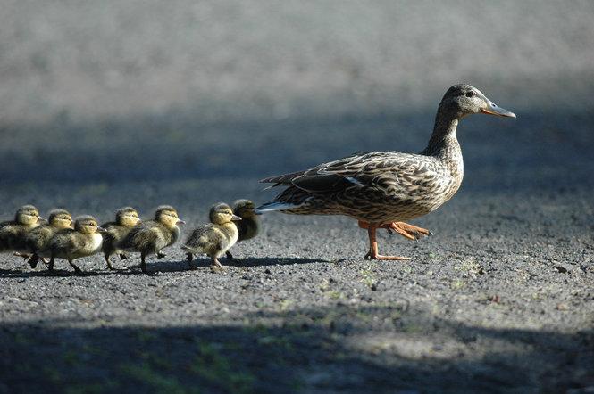 Ducks-follow-the-leader