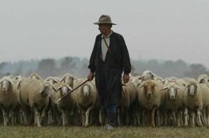 shepherd-with-sheep