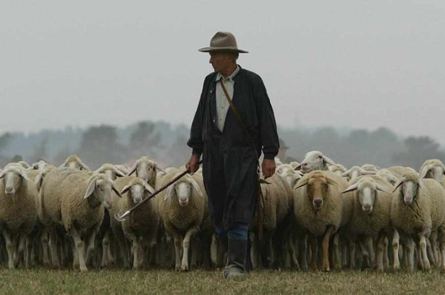 shepherd-with-sheep