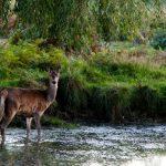Deer standing in pond