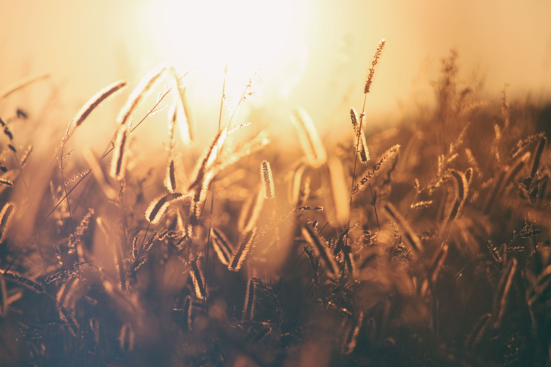 a picture of a grain field with the sun behind it to symbolize the harvest of the firstfruits
