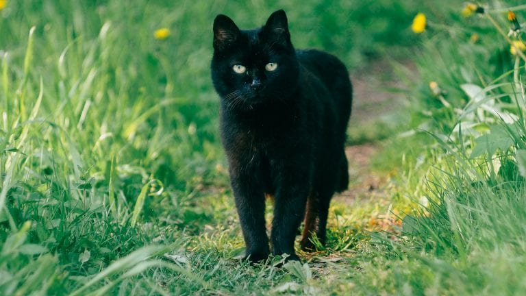 Black Cat on a grassy path - Can a Christian be Cursed?