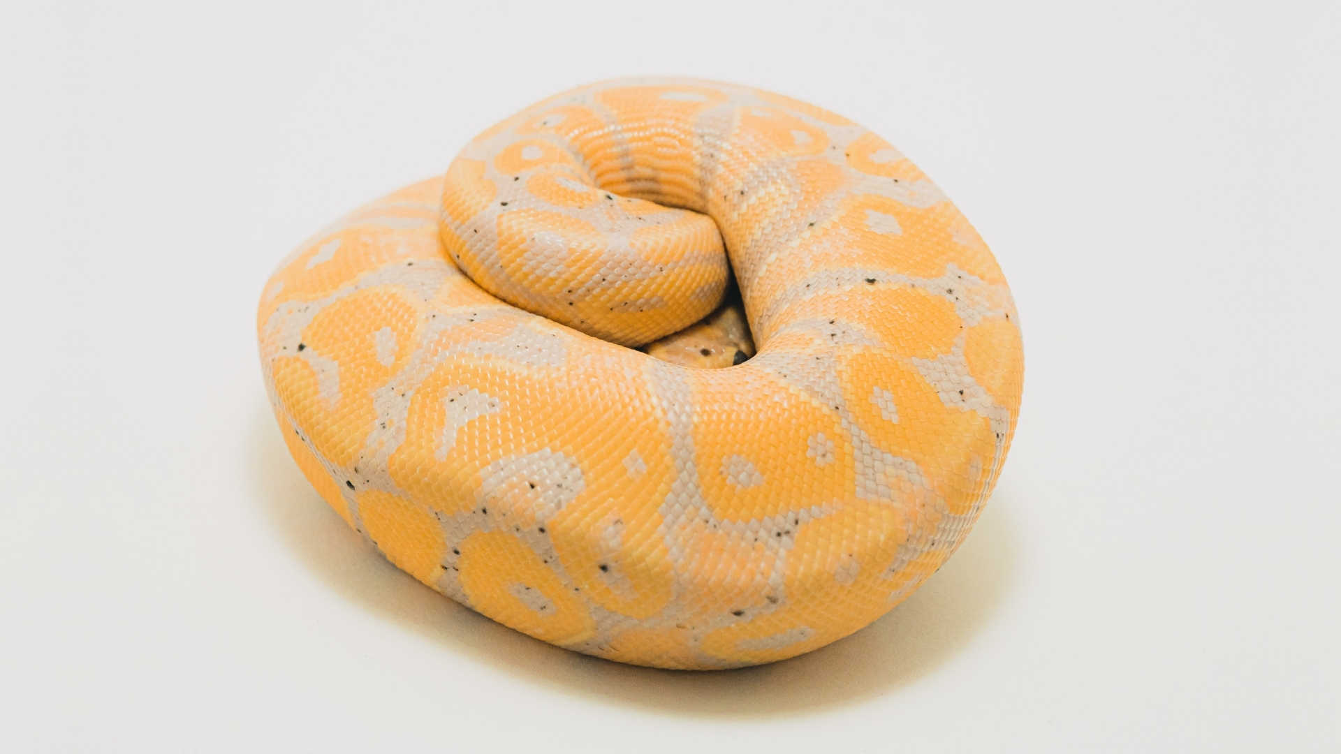 What is a Christian Cult? Yellow Snake hiding in a ball to disguise itself - peeking out at us.