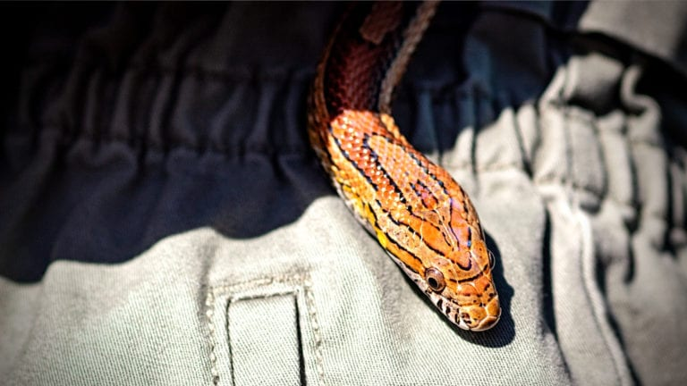 why ignoring cults is wrong: Orange Snake slithering out of someone's clothing