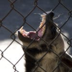 Cage Stage Calvinism: An angry wild animal with big teeth roaring behind fencing